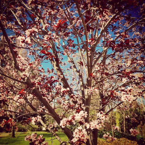 California Cherry Blossom tree www.asksuzannebell.com